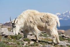 Chèvres de montagne dans le Colorado Rocky Mountains Photo libre de droits