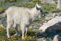 Chèvres de montagne dans le Colorado Rocky Mountains Photo stock