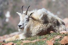 Chèvres de montagne dans le Colorado Rocky Mountains Images stock
