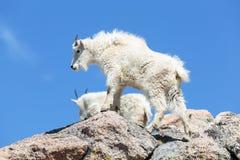Chèvres de montagne dans le Colorado Rocky Mountains Images libres de droits