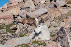Chèvres de montagne dans le Colorado Rocky Mountains Photos libres de droits