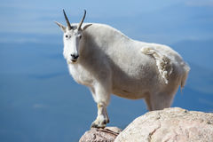 Chèvres de montagne dans le Colorado Rocky Mountains Photographie stock libre de droits