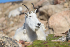 Chèvres de montagne dans le Colorado Rocky Mountains Photos stock