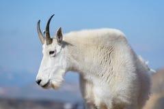Chèvres de montagne dans le Colorado Rocky Mountains Image libre de droits