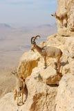 Chèvres de montagne dans le Makhtesh Ramon Images libres de droits