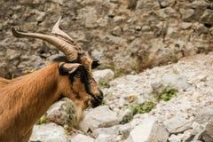 Chèvres de montagne dans les montagnes Image stock