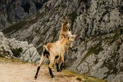 Chèvres de montagne dans les montagnes Photos stock