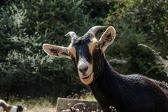 Chèvres de montagne dans les montagnes Photographie stock