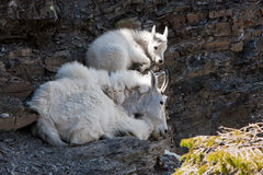 Chèvres de montagne de repos Images stock