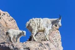Chèvres de montagne du Colorado Image stock