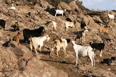 Chèvres de montagne en île de Patmos, Grèce photographie stock libre de droits