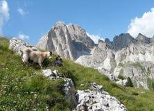 Chèvres de montagne en montagnes de dolomite Photo libre de droits