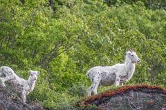 Chèvres de montagne masculines et femelles Photographie stock