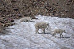 Chèvres de montagne, parc national de glacier, Montana, Etats-Unis images libres de droits