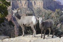 Chèvres de montagne sauvages Images libres de droits