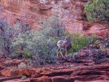 Chèvres de montagne sauvages Photos libres de droits