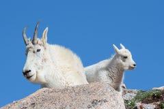 Chèvres de montagne sauvages du Colorado Rocky Mountains Image stock
