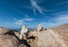 Chèvres de montagne sauvages du Colorado Rocky Mountains Image libre de droits