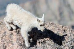 Chèvres de montagne sauvages du Colorado Rocky Mountains Images libres de droits