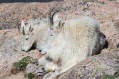 Chèvres de montagne sauvages du Colorado Rocky Mountains Photos libres de droits