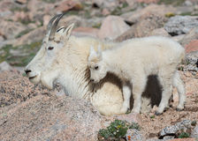 Chèvres de montagne sauvages du Colorado Rocky Mountains Photographie stock libre de droits