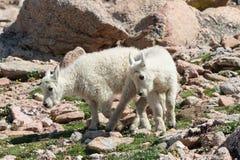 Chèvres de montagne sauvages du Colorado Rocky Mountains Photo stock