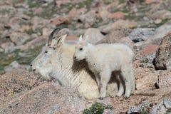 Chèvres de montagne sauvages du Colorado Rocky Mountains Photo libre de droits