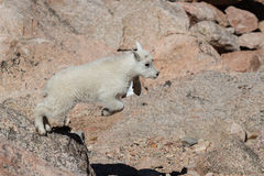 Chèvres de montagne sauvages du Colorado Rocky Mountains Photographie stock