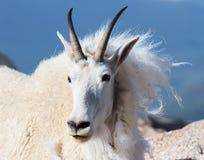 Chèvres de montagne sauvages du Colorado Rocky Mountains Photos stock