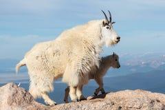 Chèvres de montagne sauvages du Colorado Rocky Mountains Images stock