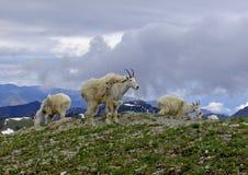 Chèvres de montagne sur Aeneas Photo stock
