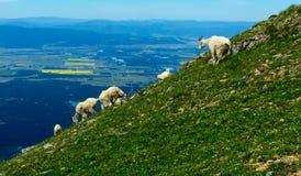 Chèvres de montagne sur le flanc de montagne Photos libres de droits