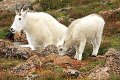 Chèvres de montagne sur le Mt evans Photo stock