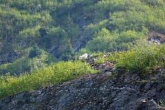 Chèvres de montagne sur un rebord rocheux en Alaska Photographie stock libre de droits
