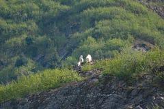Chèvres de montagne sur un rebord rocheux en Alaska Images libres de droits