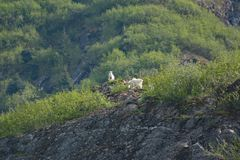 Chèvres de montagne sur un rebord rocheux en Alaska Tracy Arm Fjord Images stock