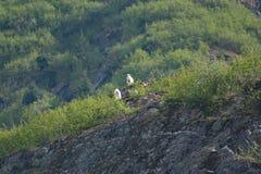 Chèvres de montagne sur un rebord rocheux en Alaska Tracy Arm Fjord Images libres de droits