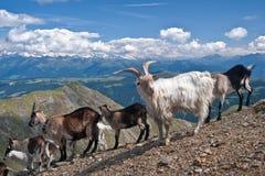Chèvres de montagnes dans Gabler, dolomites (service informatique) Image libre de droits