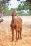 Chèvres de Morrocan dans le domaine Photo libre de droits