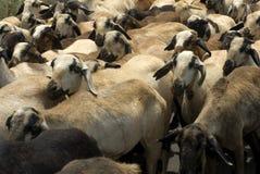 Chèvres de production animale s'élevant ou agriculture de chèvre Photos stock
