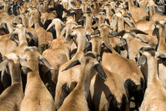Chèvres de production animale s'élevant ou agriculture de chèvre Photographie stock libre de droits
