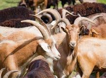 Chèvres de réunion dans de grands troupeaux Photo libre de droits