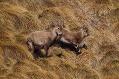Chèvres de roche de bébé Images libres de droits