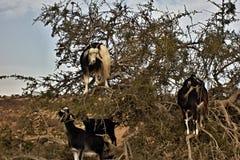 Chèvres de vol d'arbre d'argan du Maroc Photo libre de droits