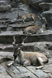 Chèvres de zoo de Lrest image libre de droits