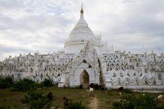 Chèvres devant la pagoda blanche dans le mingun, myanmar Photographie stock libre de droits