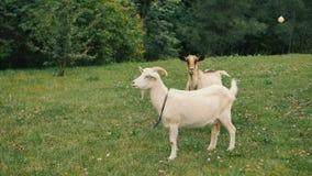 Chèvres domestiques blanches se tenant à la ferme et à la consommation banque de vidéos