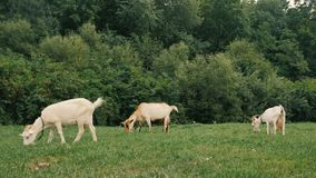 Chèvres domestiques blanches se tenant à la ferme et à la consommation clips vidéos