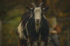 Chèvres drôles au concept écossais d'agriculture durable de ferme image libre de droits