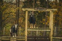 Chèvres drôles au concept écossais d'agriculture durable de ferme image stock